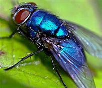 Flies treatment Fife