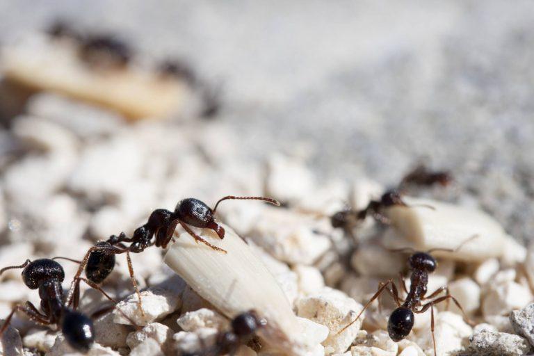 Elysium pest control - Ants