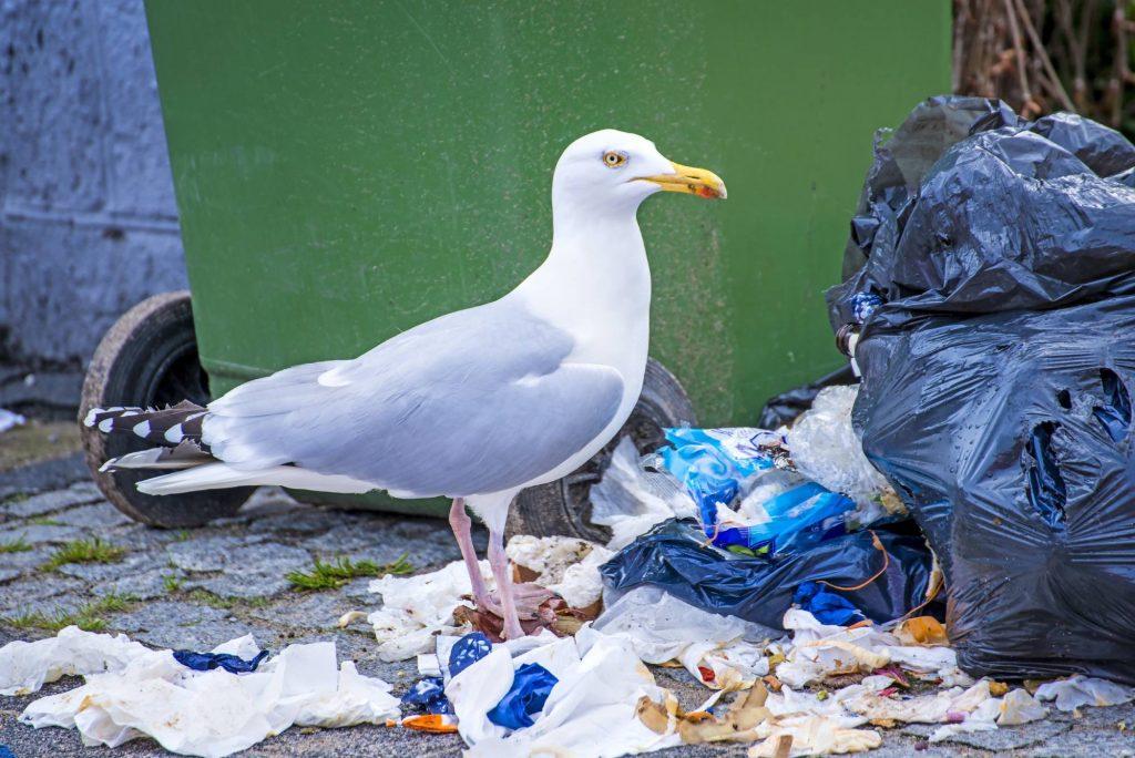Seagull Treatment Fife
