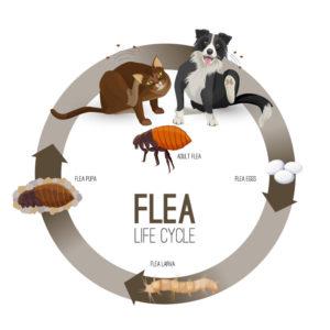 Flea Treatment Fife